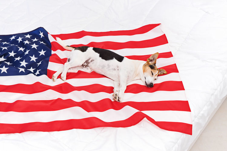 American Flag Day Dog USA 14th June Greeting Background Event July Happy Independence Celebrate Festival National America Military Traditional Stripes United Celebration Banner Army Remember Emblem  Memorial Holiday Soldier History Liberty Flag Day Veterans Parade President National Flag Week Card Concept Anniversary Star Patriot Fourth 4th Of July 4th July Pet Us Cute Jack Russell HERO Terrier Sleepy