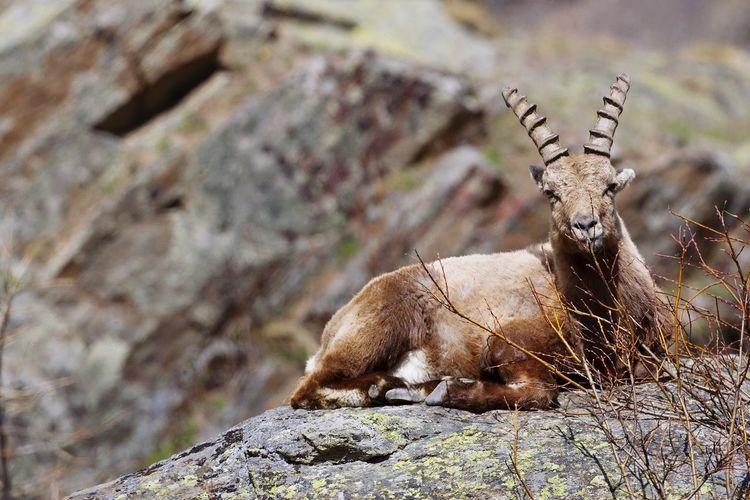 Mountain goat sitting on rock