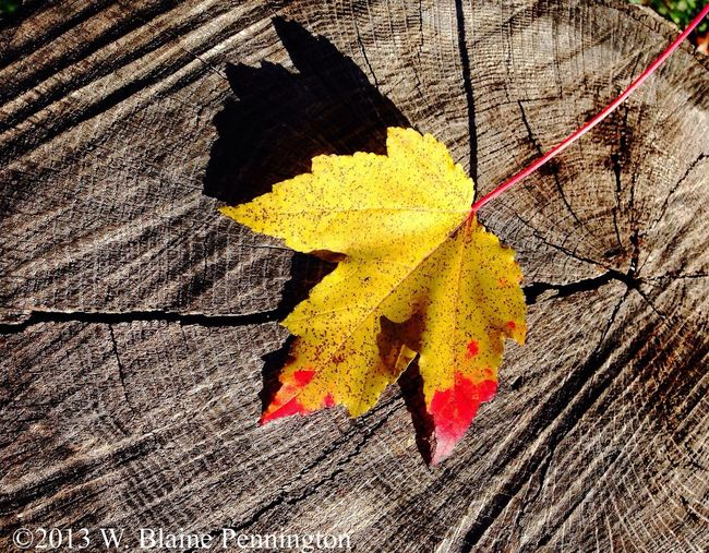 Most leaves down Leaf Maple Trees Fall
