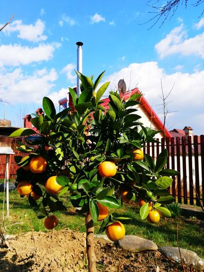 Fruits growing on tree against sky
