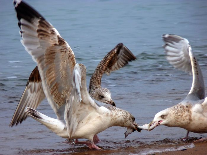 Seagulls fighting for prey at shore