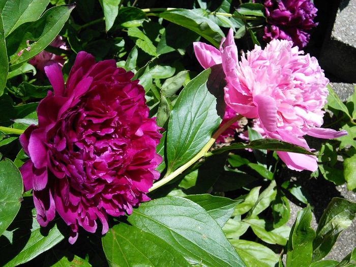 Spring Flowers Peony Flower Peony Bloom Peonie Bush Burgundy Flower Pink Flower I love the peonies, they come back for years & years! Strange weather again this year. It's cold & rainy. West of here in the state of Ohio they got a dusting of snow!