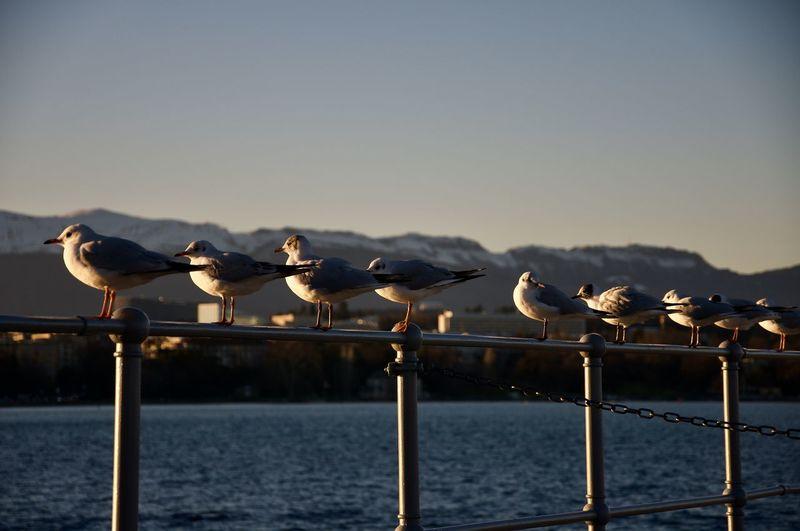 Seagulls perching on railing against lac léman