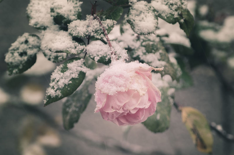 Close-Up Of Rose On Snow Covered Field