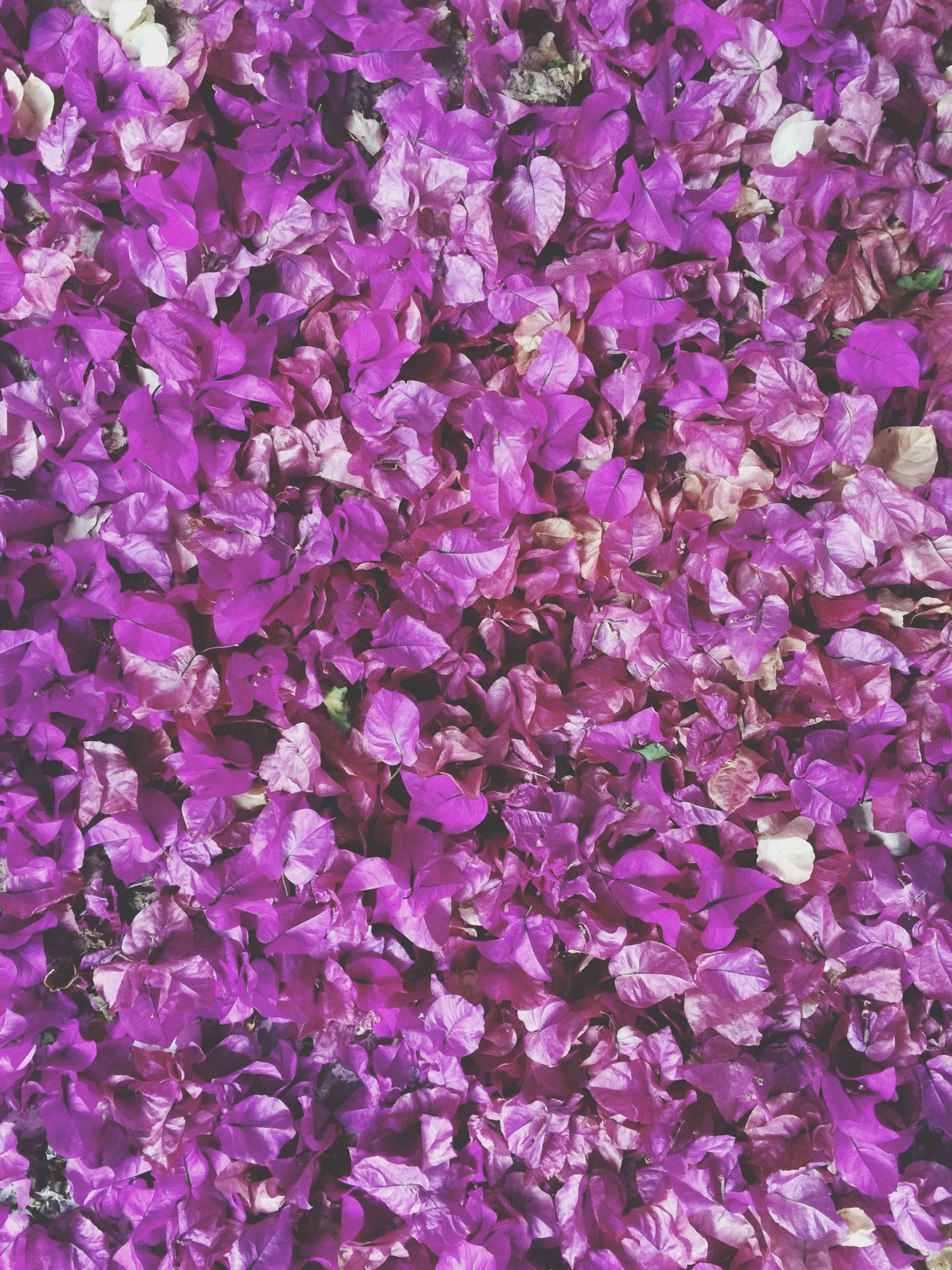 full frame, flower, backgrounds, fragility, freshness, purple, beauty in nature, growth, petal, abundance, nature, high angle view, pink color, plant, blooming, close-up, flower head, no people, outdoors, day