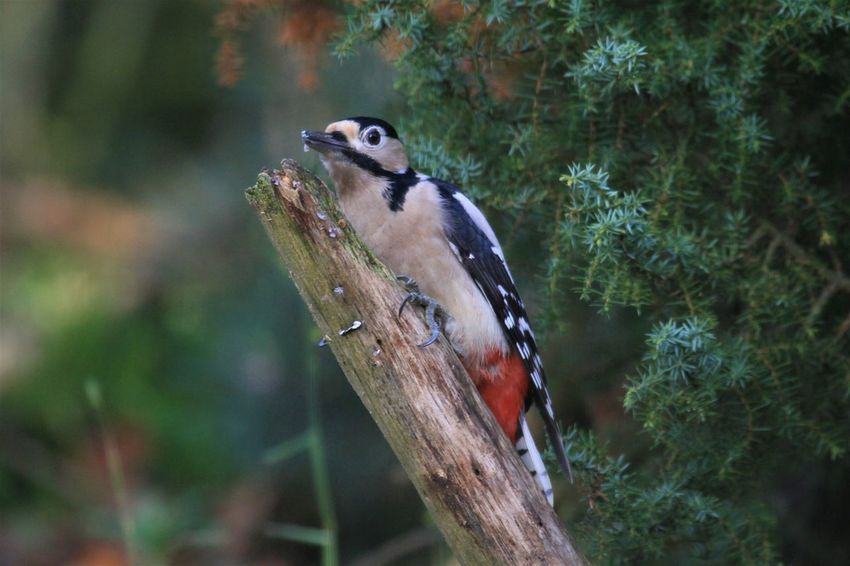 Animal Themes Animal Wildlife Animals In The Wild Bird Bonte Specht Close-up Day Focus On Foreground Grote Bonte Specht Nature No People One Animal Outdoors Perching Specht Tree Woodpecker Woodpecker In Tree Woodpeckers