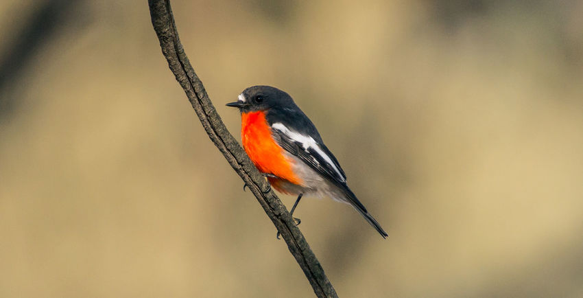 flame robin Flame Robin Animal Themes Animals In The Wild Beautiful Bird Beauty In Nature Bird Close-up Day Nature One Animal Outdoors Perching Red Reedy Swamp Robin Shepparton Shepparton Victoria Sony Photography Wetlands