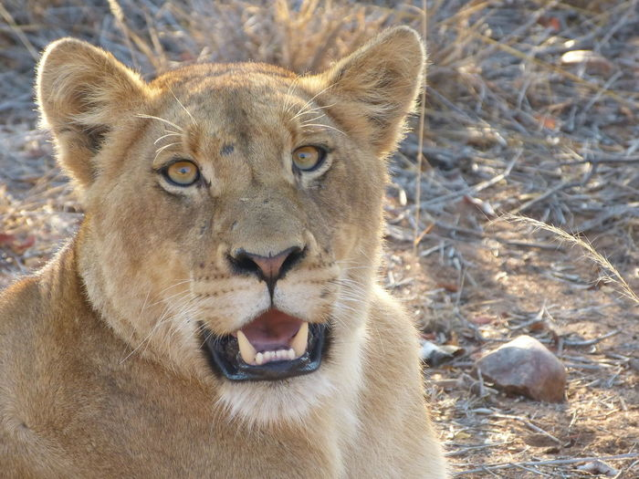 Greater Kruger National Park South Africa Animal Animal Body Part Animal Head  Animal Themes Animal Wildlife Animals In The Wild Cat Close-up Feline Krüger National Park  Lion - Feline Looking At Camera Mouth Open No People One Animal Portrait Young Lion