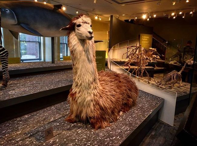 "An alpaca walks into a restaurant, the waiter says, ""Do you want anything to eat?"". The alpaca replies, ""no thanks, I'm stuffed."". Why did the alpaca walk into the restaurant? NHM Mammal DiscoverLA Alpaca"