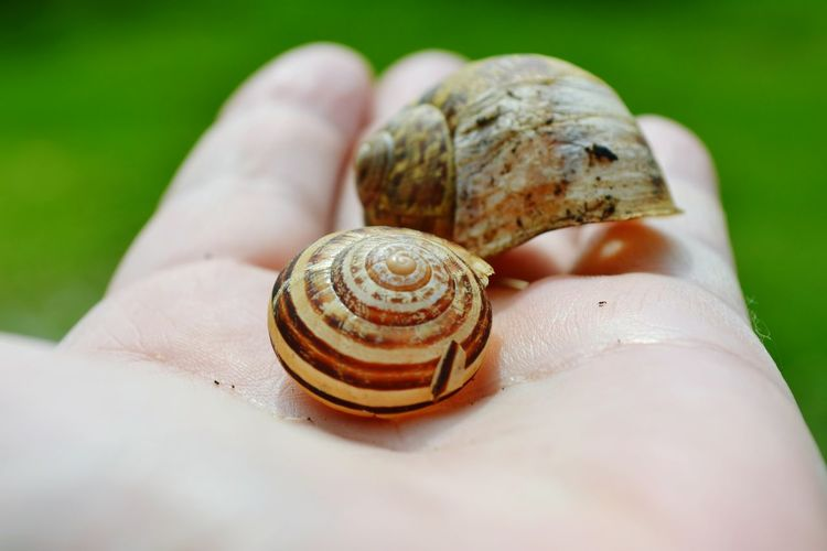 Holding Fingers Hand Human Hand Snail Close-up Animal Shell Shell Spiral