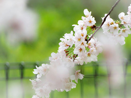優しい夢を…🌸 Cherry Blossom 桜🌸 Spring EyeEm Nature Lover Flower Collection EyeEm Gallery Eyemphotography Springtime EyeEm Best Shots - Nature Beauty In Nature Taking Photos EyeEm Best Shots Nature