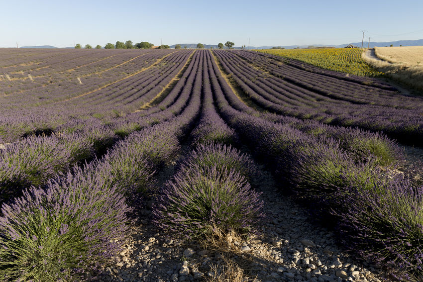 Lavender fields in Valensole Flowering Lavender Field Provence Provence Alpes Cote D´Azur Provence-Alpes-Cote D'Azur Flower Lavender Lavender Colored Lavenderflower Nature Outdoors Valensole Violet
