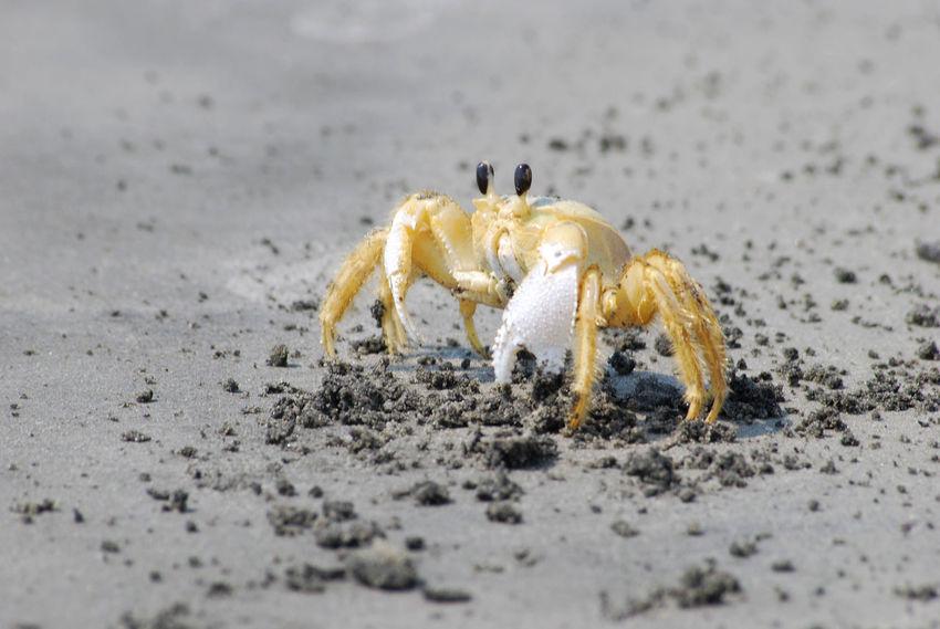 Animal Themes Beach Beachwalk Crab Crustacean Nature One Animal Sealife