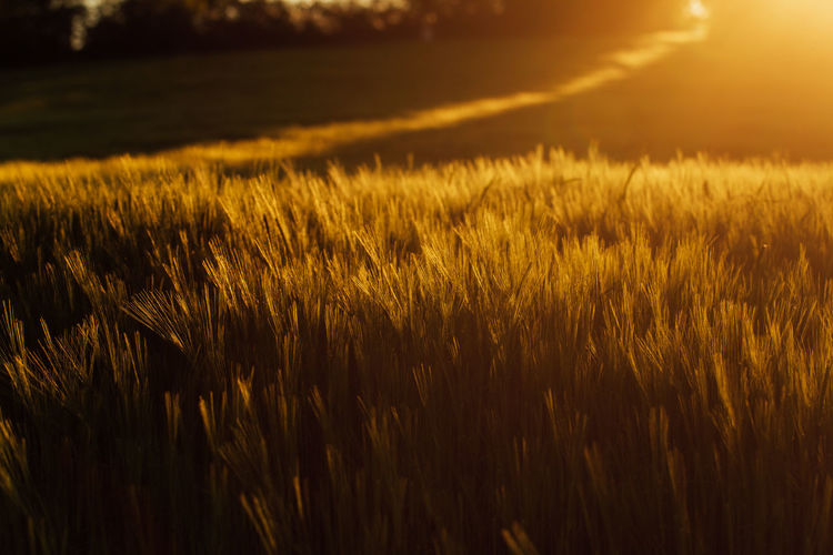 High angle view of stalks in field against sunset