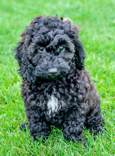 Cockapoo Cockerpoo Puppy Cockerpoo Portrait One Animal Animal Themes Grass Animal Mammal Domestic Animals Pets Plant Canine Domestic Dog Portrait Looking At Camera Green Color No People Nature Field Sitting Day Vertebrate Animal Head  Puppy
