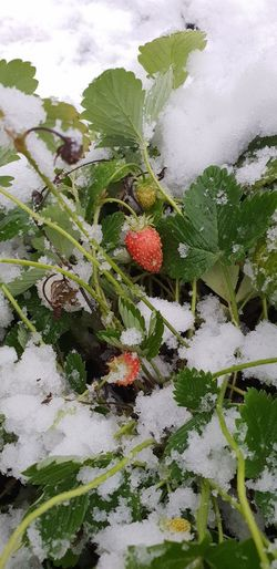 Wild strawberries in snow Wild Strawberries Strawberries Unexpected Snow Snoe Snowstorm First Snow Urban Gardening Frozen Berries Vegan Healthy Eating North Gardening Raised Bed Garden Water Tree Fruit Leaf Winter Cold Temperature Close-up Plant Food And Drink Green Color Unripe Frost Snowcapped Weather Condition