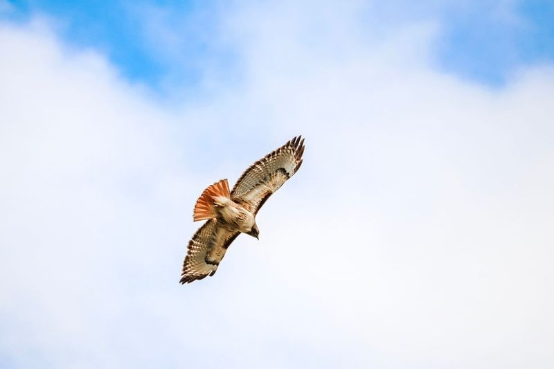 Red Tailed Hawk Animal Wildlife Animals In The Wild Animal Animal Themes Sky One Animal Flying Bird Spread Wings Vertebrate Animal Wing Nature Bird Of Prey Day No People Cloud - Sky Beauty In Nature Low Angle View Outdoors Mid-air
