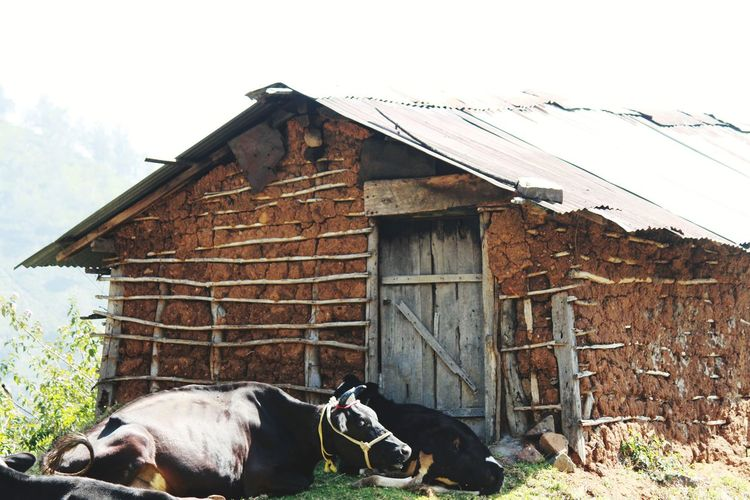 Mudhouse Cows Domestic Animals Built Structure Tribals Pets Animal Themes HUWAI Photo Award: After Dark EyeEmNewHere Eyem Nature Lovers