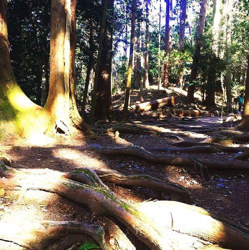 Trecking Hiking Kurama Tree Sunlight Tree Trunk Nature Shadow Forest WoodLand