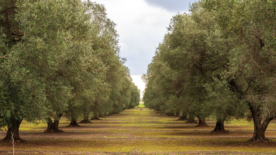 Olive Olives Olive Tree Olive Grove Olive Oil Olive Garden Olive Trees Olive Field Agriculture Salento Xylella Autumn Oil Mediterranean  Mediterranean Food Landscape With Whitewall Beautifully Organized