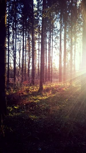 Tree Nature Beauty In Nature Sunset Forest Autmn Trees Autmncolors Sun Light Walking In The Forest !