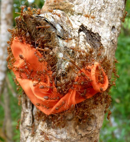 Ants Group Trying To Make Something With A Baloon In Angkor Forest, Cambodia Angkor Angkor Wat Ants Antslife Area ASIA Ballon Baloon Cambodia Close-up Curious Day Extreme Close-up Forest Funny Group Insects  Nature Orange Siam Strange Tree Tree Trunk Tropical Work