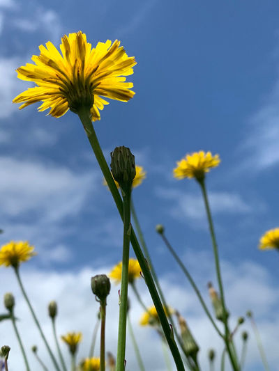 Close-up of yellow flower growing on field against sky