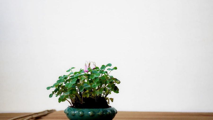 Bonzai Bonsai Tree Close-up Copy Space Day Flower Fragility Freshness Green Color Growth Indoors  Leaf Nature No People Plant Potted Plant Studio Shot Table White Background Wood - Material
