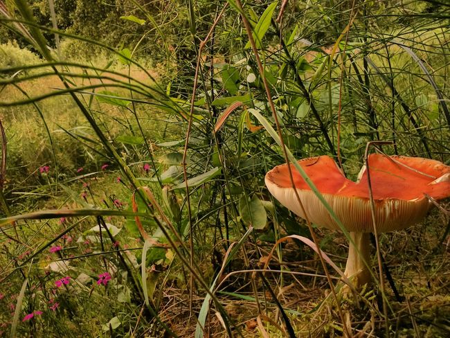Growth Nature Beauty In Nature Fragility Leaf Plant Day Close-up Outdoors Freshness No People Grass Mushrooms 🍄🍄 Mushrooms Mushroom Photography Fly Agaric Mushroom Mushroom Nature Beauty In Nature Growth