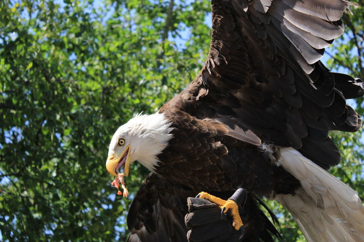 Eagle Animal Themes Animal Wildlife Animals In The Wild Bald Eagle Beak Bird Bird Of Prey Close-up Day Eagle - Bird Eagle Mid Flight Flying Bird Focus On Foreground Low Angle View Mid Adult Nature No People One Animal Outdoors Perching Spread Wings Tree
