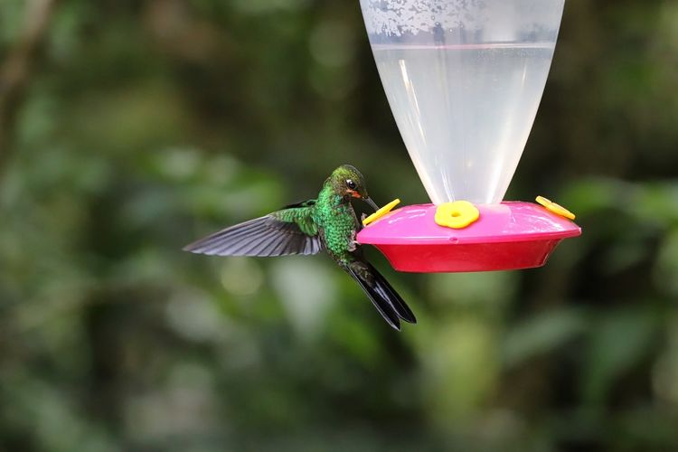 Green-crowned brilliant hummingbird on feeder