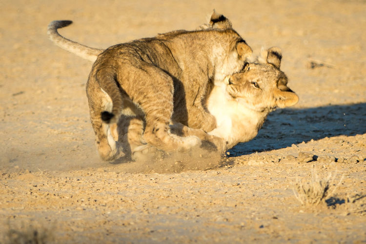 Lion cubs playing on sand