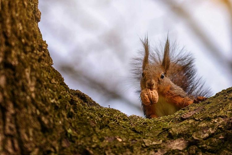 Low angle portrait of squirrel eating walnut on branch against sky