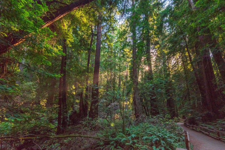 Forest Tree Plant Land Nature Beauty In Nature Scenics - Nature WoodLand Tranquility Growth No People Non-urban Scene Lush Foliage Green Color Foliage Tranquil Scene Day Environment Tree Trunk Trunk Outdoors Rainforest Pine Woodland Redwoods