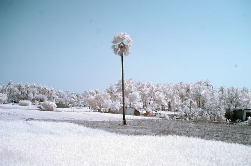 Infrared image of palm trees on field against clear sky