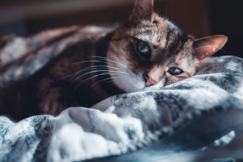 One Animal Pets Animal Themes Domestic Mammal Animal Domestic Animals Looking At Camera Portrait Cat Close-up Indoors  Bed Furniture Selective Focus No People Vertebrate Domestic Cat Feline Relaxation