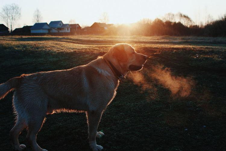 Labrador Retriever On Field