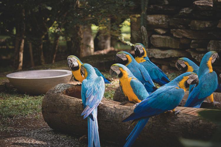 Blue araras having lunch at alto paraiso - goias, brazil