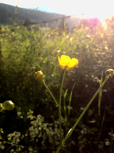 Field Yellow Flower Beauty In Nature Blooming Close-up Day Flower Freshness Growth Nature No People Outdoors Plant Flowering Plant Stamen Plant Life Blossom In Bloom Wildflower Growing Farmland Botany