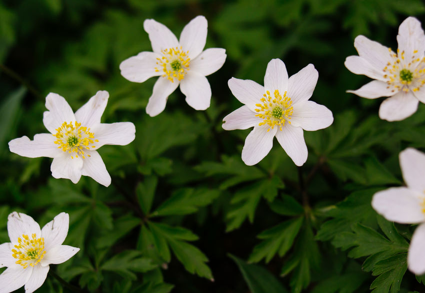 Little white white anemone flowers that were growing in a meadow, inbetween trees. Anemone Anemone Flower Blooming Botany Flower Nature Springtime White