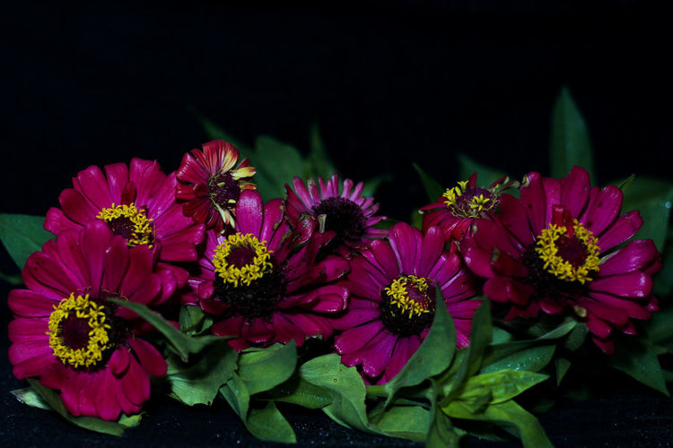 Close-up of pink flowers against black background