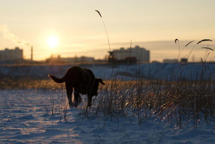 Dog on shore against sky during sunset
