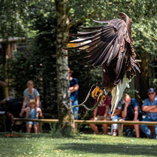 Adler im