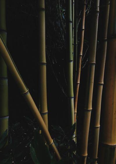 Close-up of bamboo plant at night
