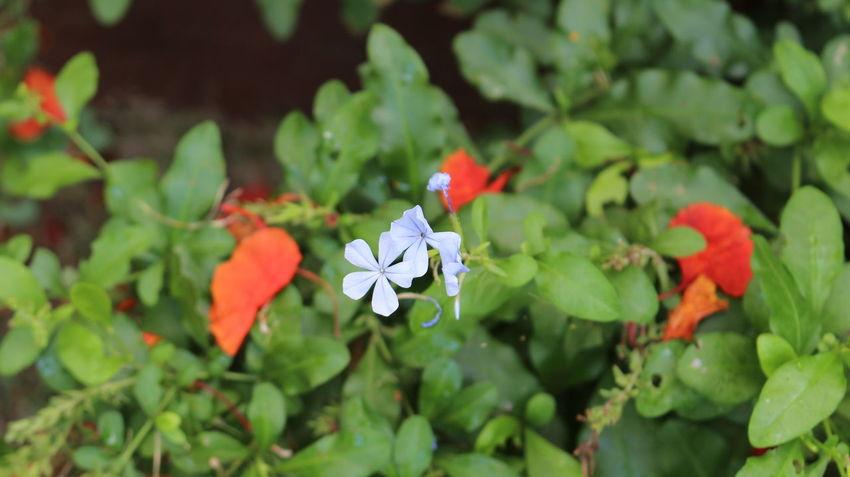 Blue Flower Delonix Regia Flamboyant Garden Green Nature Nature Photography Naturephotography Tiny Flower