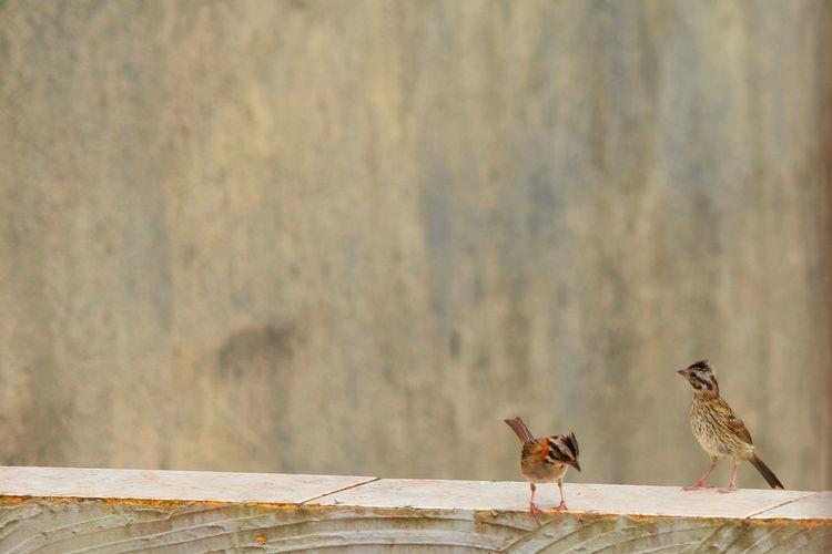 Birds(Tico-Tico)