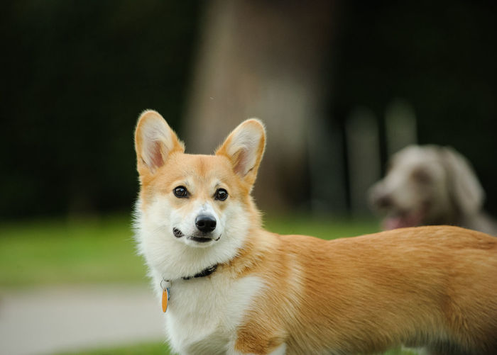 Welsh Pembroke Corgi dog Horizontal Pembroke Pembroke Corgi Welsh Welsh Pembroke Corgi Animal Themes Corgi Day Dog Domestic Animals Mammal No People One Animal Outdoors Outside Pets