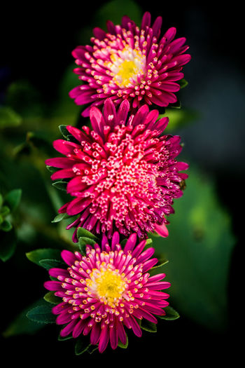 Beauty In Nature Black Background Close-up Day Flower Flower Arrangement Flower Head Flowering Plant Focus On Foreground Fragility Freshness Growth Inflorescence Nature No People Outdoors Petal Pink Color Plant Pollen Red Vulnerability
