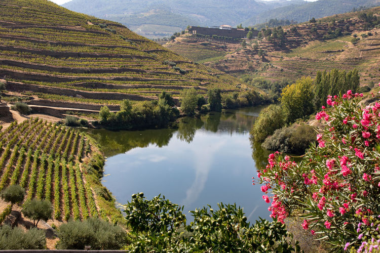 Douro valley vines and olive trees on hillside Beauty In Nature Day Environment Green Color Growth Idyllic Lake Landscape Mountain Nature No People Outdoors Plant Reflection Scenics - Nature Tranquil Scene Tranquility Tree Water