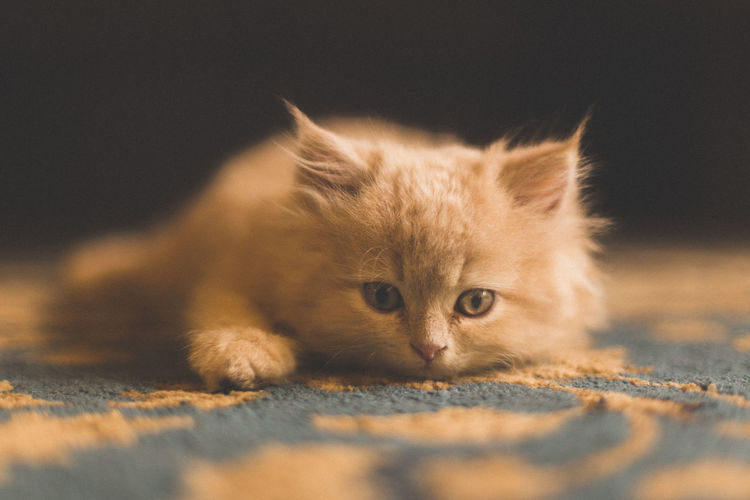 Close-up portrait of cat sitting on rug